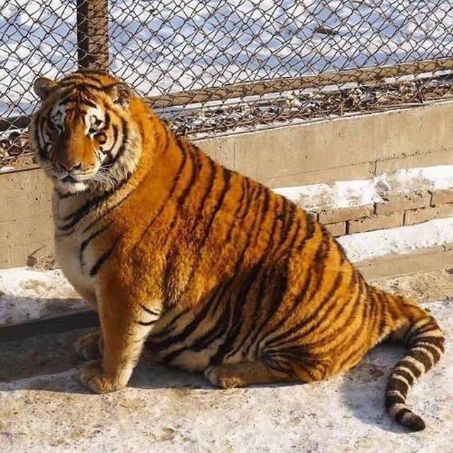 chubby_tiger_3.jpg