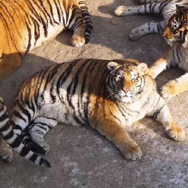 chubby_tiger_5.jpg