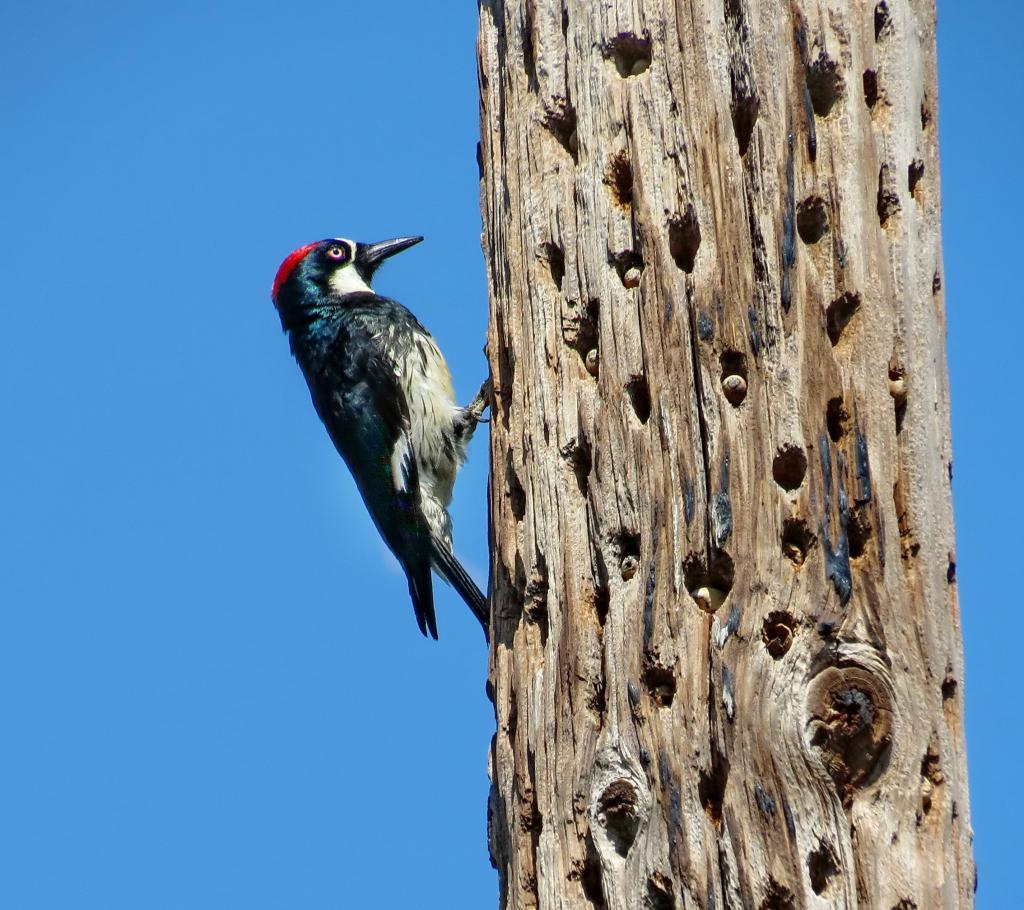 acorn-woodpecker-3545.jpg