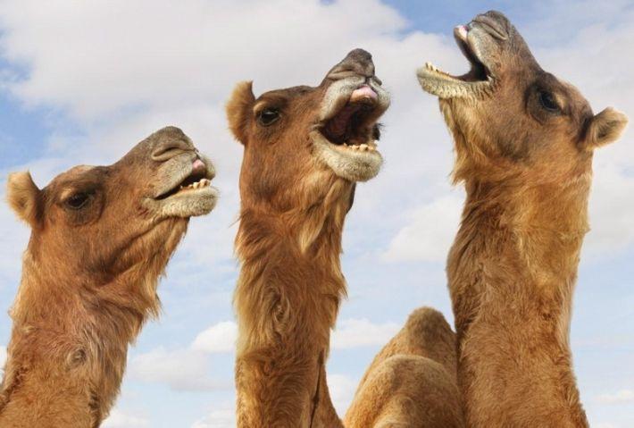 camels_webmixerdetailed_jpg.jpg